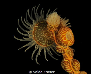 A gorgonian wrapper, so pretty but really a nasty parasite. by Valda Fraser